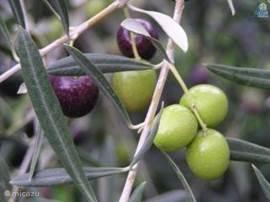 Olijven. Andalusiers eten ze geplet en ingelegd in een kruidenmix