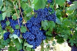 Druiven in de wijngaarden