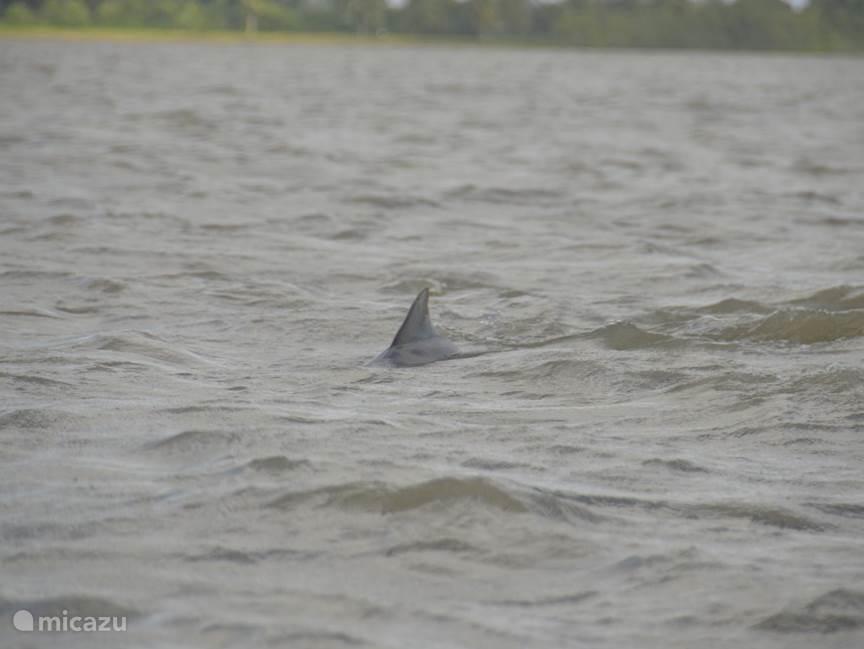Op de Surinamerivier dolfijnen spotten