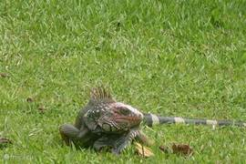 front garden visited by one of the common iguana`s. It feeds mainly on young leaves
