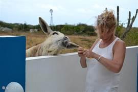 De ezel, schapen en geiten van de buren komen regelmatig even kijken of er nog iets te halen valt.