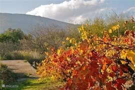 Die zelfde druiven geven een kleurfestijn aan het begin van de herfst.