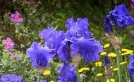 Alle vormen en kleuren irissen maar nog vele andere bloemen en struiken die bloeien en geuren. Je weet niet wat je ziet.