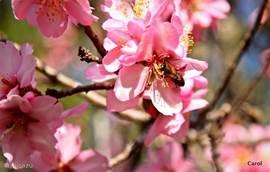 In het vroege voorjaar bloeien de amandelbomen..alles ruikt naar honing en bijen zoemen onophoudelijk