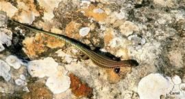 Kleine vlugge salamanders warmen zich in de zon..