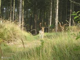 Hert in het natuurgebied Oranjezon. Hij bekijkt ons nieuwsgierig.