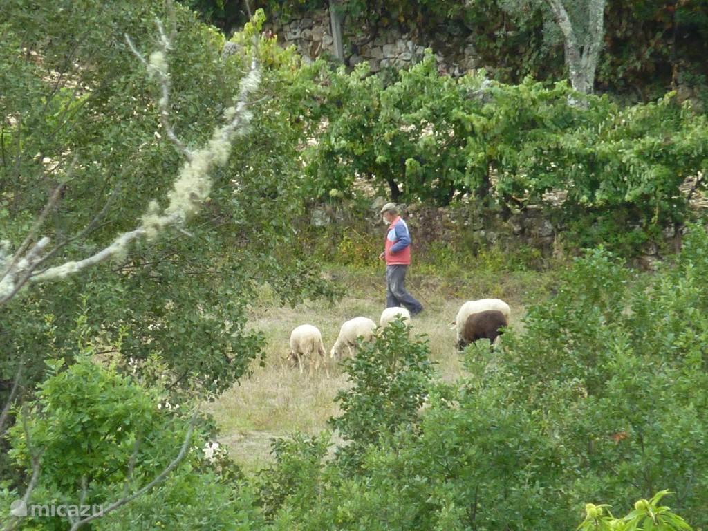Onder het huis in het dal zult u vaak de herder met zijn schapen tegenkomen.