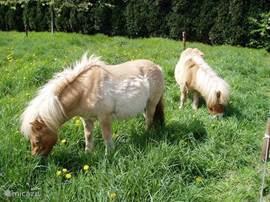 Onze mini pony's Pientje en Pasja