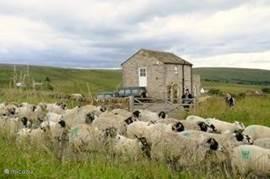 schapen op weg naar de kapper