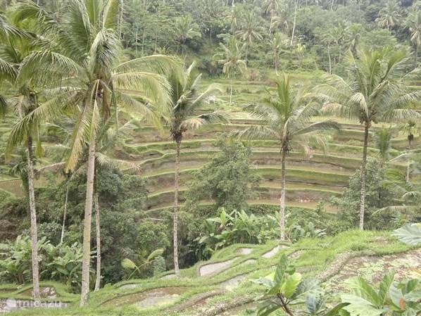 The famous Balinese rice fields