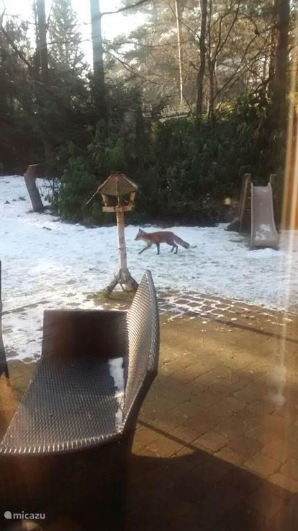 In plaats van een winterslaap, wandelt deze vos regelmatig door onze tuin