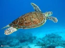 De schilpad, regelmatig zelf gezien bij klein bonaire maar ook op Bachelor Beach hebben we een aantal kleinere exemplaren met snorkelen waargenomen. Op het hele eiland zijn heel veel plekken waar je kan snorkelen/duiken en kan genieten van de mooie onderwaterwereld van Bonaire.