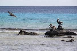 Pelikanen in zee in de buurt van de zoutbergen