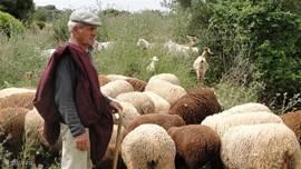 herder met zijn schapen