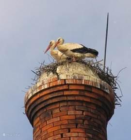 overal zitten de ooievaars op het nest in het voorjaar