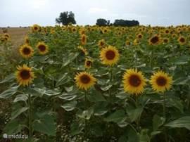 Prachtige zonnebloemen velden Op en top zomer