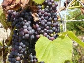 Hier wordt de heerlijke wijn van gemaakt