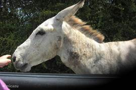 Always look forward to driving because donkeys and goats are still just around freely on Bonaire
