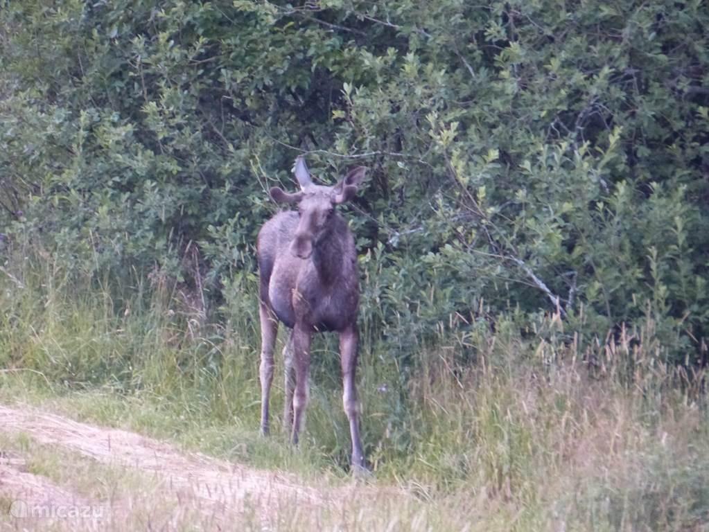 Elanden komen regelmatig op bezoek aan de rand van het bos en zijn dan slechts enkele tientallen meters verwijderd van Lilla Hagen.