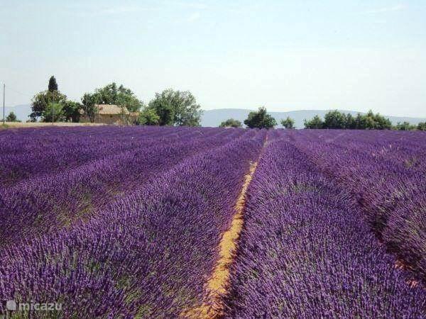 De beroemde lavendelvelden op de hoogvlaktes.