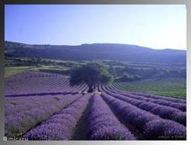 Overal in de streek mooie, paarse en heerlijk geurende lavendelvelden, van half juni tot mogelijk eind juli (met een beetje geluk).