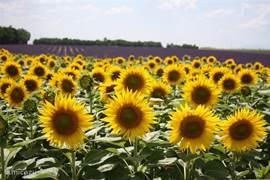 Oneindige velden vol zonnebloemen, soms vlak naast enorme velden vol met heerlijk geurende lavendel. Allerlei soorten honing, lavendel olie, -zeep etc. zijn typische streek-produkten en hier dan ook volop verkrijgbaar.