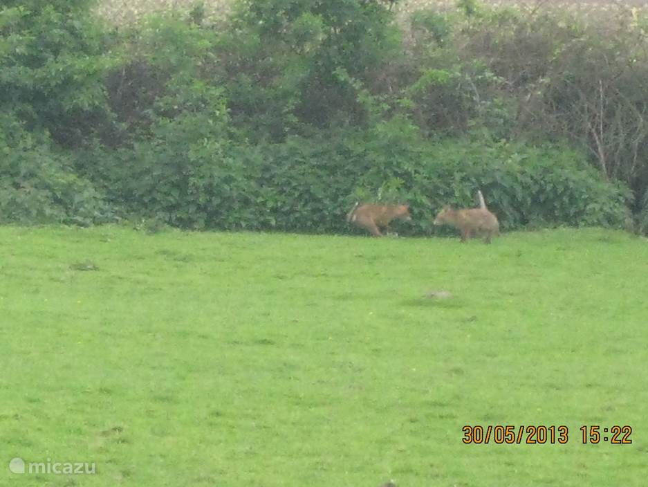 jonge vosjes in de tuin van 10.000 vierkante meter