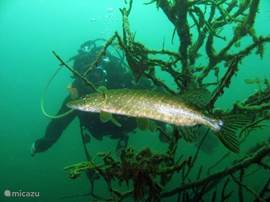 Het duikmeer. Gemiddelde diepte 12 m / 39.4 ft.  max diepte 22 m / 72.2 ft.  Stroming Geen.  Zicht Medium ( 5 - 10 m.  Duiklocatie kwaliteit Goed.  Ervaring CMAS * / OW.  Bio interest Interessant.  Voor meer info kunt u ons mailen.