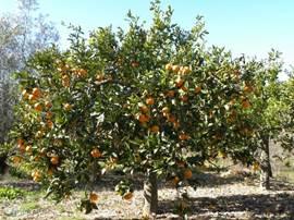 Pluk verse sinaasappels, afhankelijk van het seizoen. Citroenen zijn er het hele jaar.