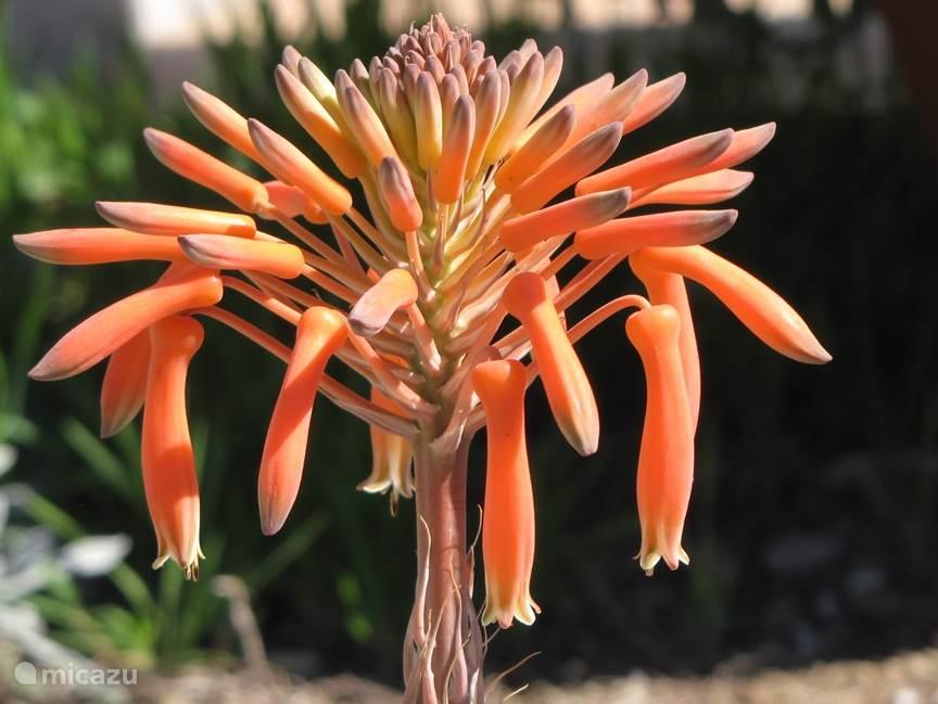 Bloeiende Aloe Vera