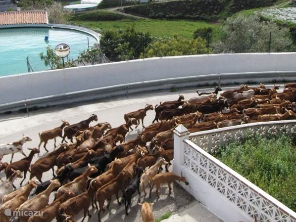 Bijna elke dag komt de herder met zijn kudde langs.