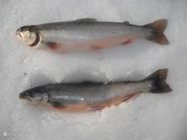 De vangst na een uurtje ijsvissen.