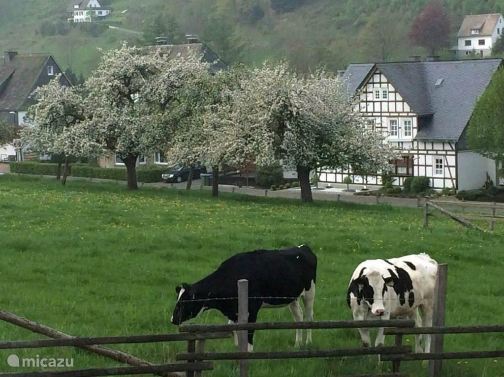 Uitzicht aan de voorzijde van het huis op de weide waar van mei-september nog steeds een aantal koeien staan