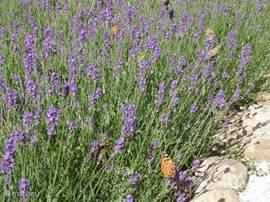 de lavendeltuin trekt veel vlinders