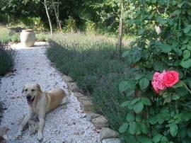 onze labrador Duca in een deel van de lavendeltuin