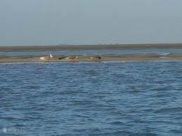 Spot zeehondjes langs de Westerschelde..