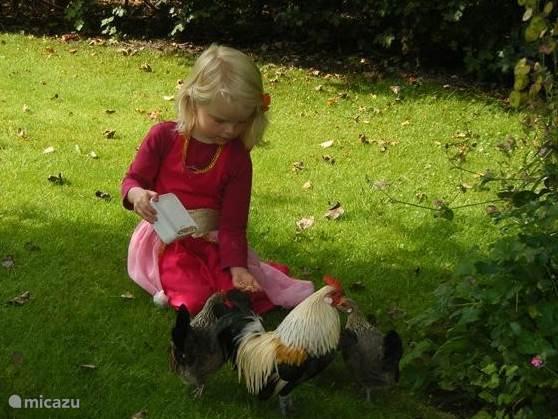 kippen voeren in de tuin. Kinderen mogen voeren en eitjes rapen.