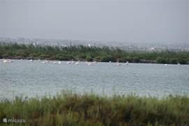 Regelmatig komen  de sierlijke,lang-genekte flamingo's in de wetlands aan de kust fourageren