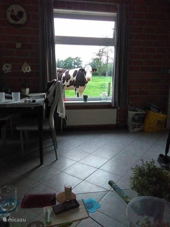Dit kan het uitzicht zijn vanuit de woonkamer, een nieuwsgierige koe
