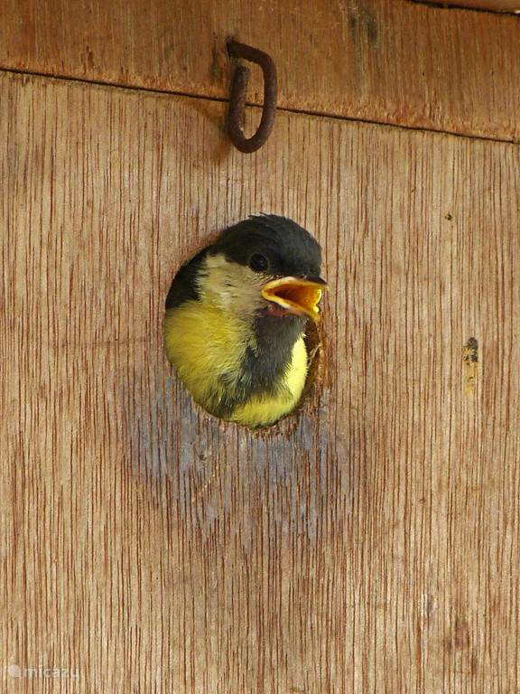 Jonge koolmees gaat uitvliegen uit nestkast bij onze bungalow.