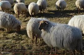 onze buren: de schapen