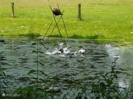 De kikkerpoel is de favoriete plek van onze vijf ganzen; kunt u zien welke het jong is??