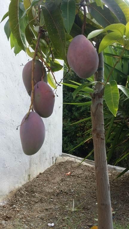 Eindelijk mijn eerste oogst mango's!