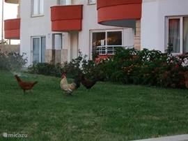 Aangelegen tuin - Is wel van enkele jaren geleden - Haan is al enige tijd spoorloos .. Mangal = BBQ ??