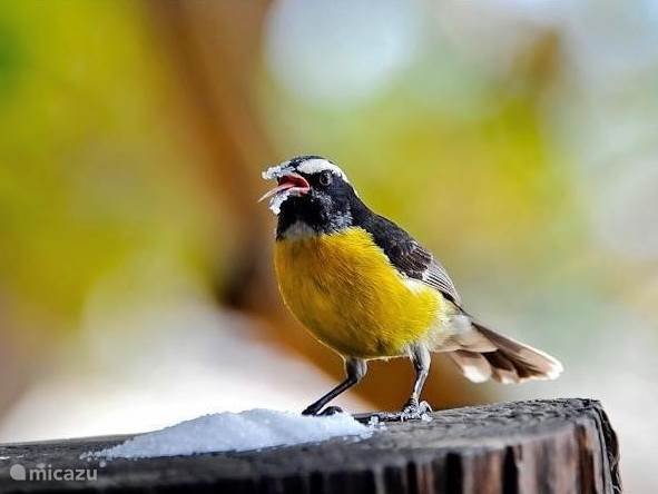 Bananaquits come daily to see if you have what they contained.