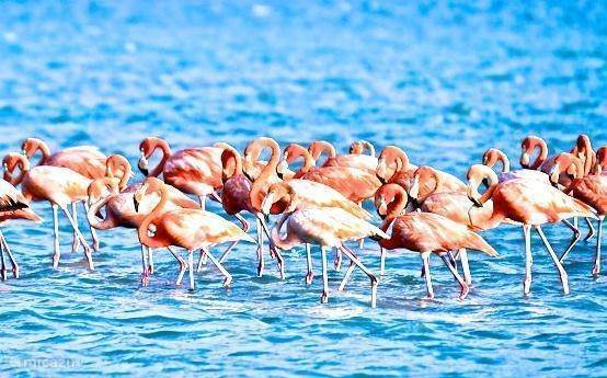 Flamingos can be found at three minutes at the salt pans of Jan Cook.