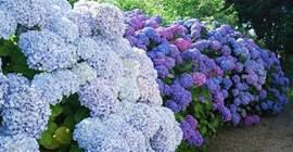 Bretagne staat bekend om de hortensia's. De tuin van La Clé de Taulé heeft ook enkele pracht exemplaren staan.