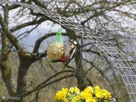 Many birds visit our garden. On the picture a woodpecker indulges in the mezenbol. If there is a lot of food depends on the pink bow is a coming and going of all kinds of birds. Squirrels also sees sometimes early in the morning in the garden. Deer running just not through the garden.