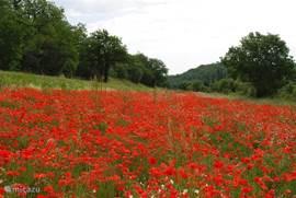 In het voorjaar zijn er overal in de omgeving velden vol prachtige klaprozen.