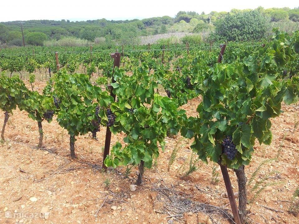 De wijngaarden op 10 minuten lopen van de villa.